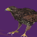鷹を描いてみた