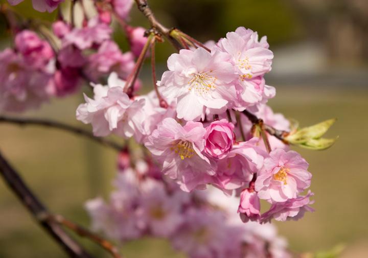 しだれ桜(写真)