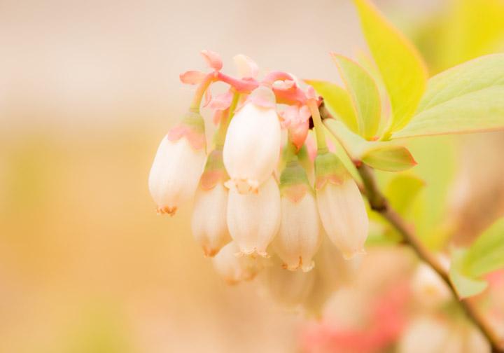 ブルーベリーの花(写真)
