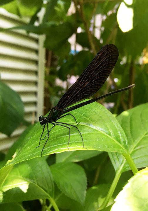 羽黒蜻蛉(写真)