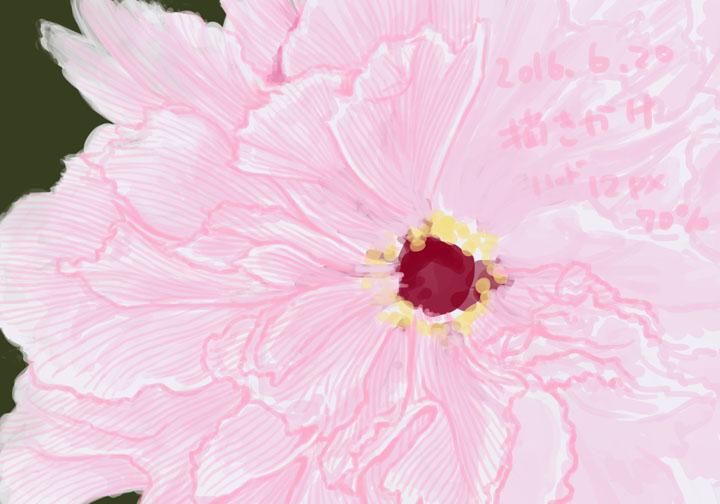 牡丹の花描きかけ(季節感無視)